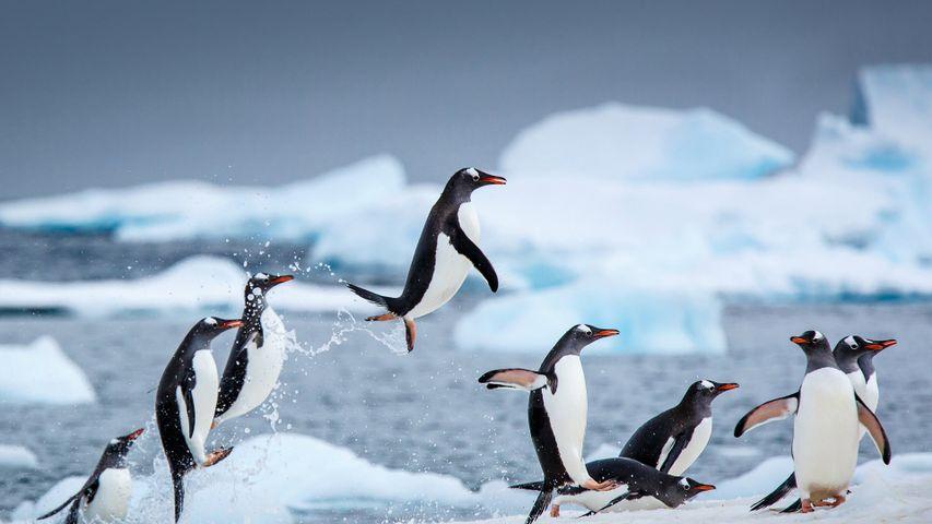 「ジェンツーペンギン」南極, ダンコ島