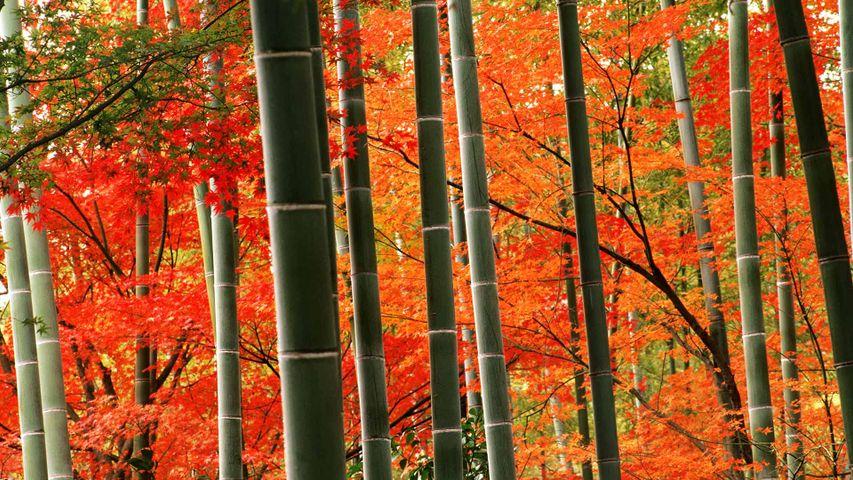 「嵐山公園の竹林と紅葉」京都, 嵐山