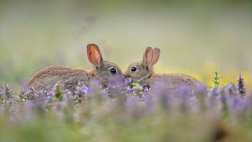 「アナウサギの親子」フランス