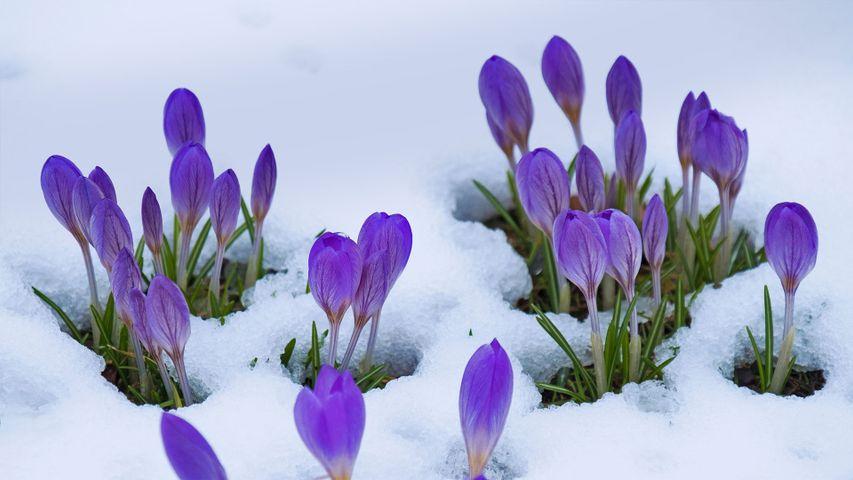 「雪とクロッカス」