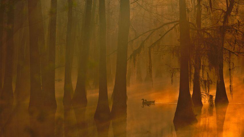「ヌマスギの森」米国ルイジアナ州
