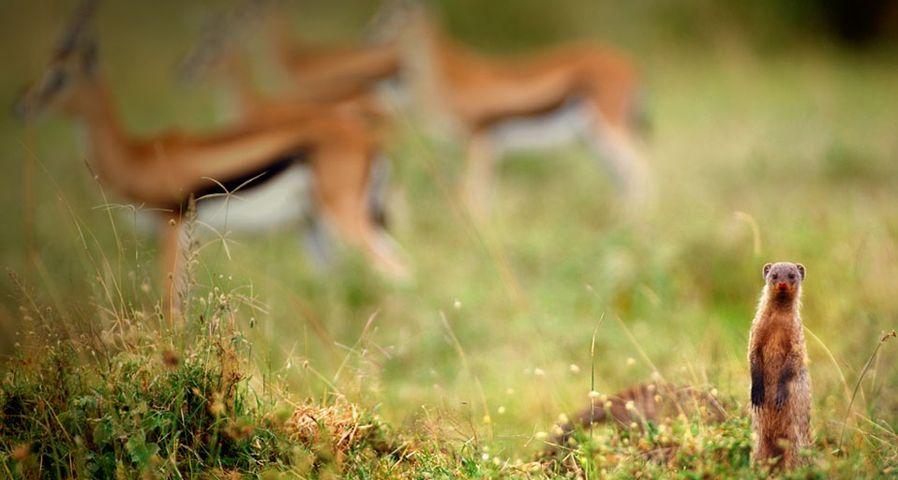 「シママングースとトムソン・ガゼル」ケニア, マサイ・マラ国立保護区