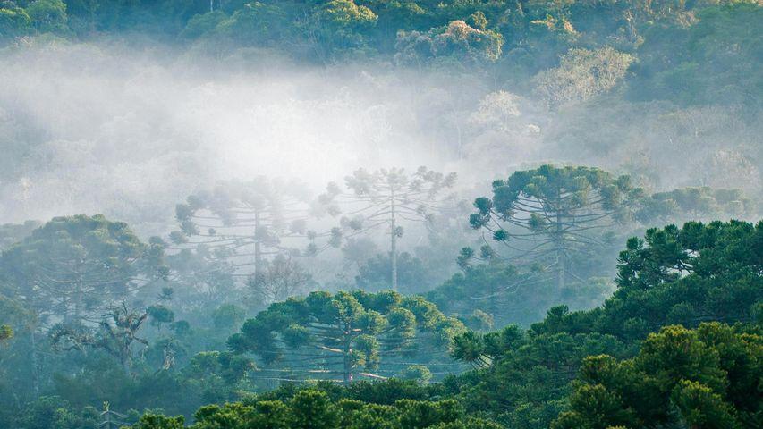 「パラナ松のアラウカリア林」ブラジル