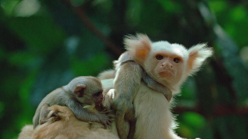 「キンシロフサミミマーモセット」ブラジル, アマゾン熱帯雨林