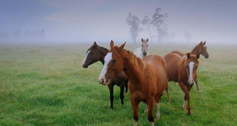 「馬の小さな群れ」オーストラリア, ニューサウスウェールズ州
