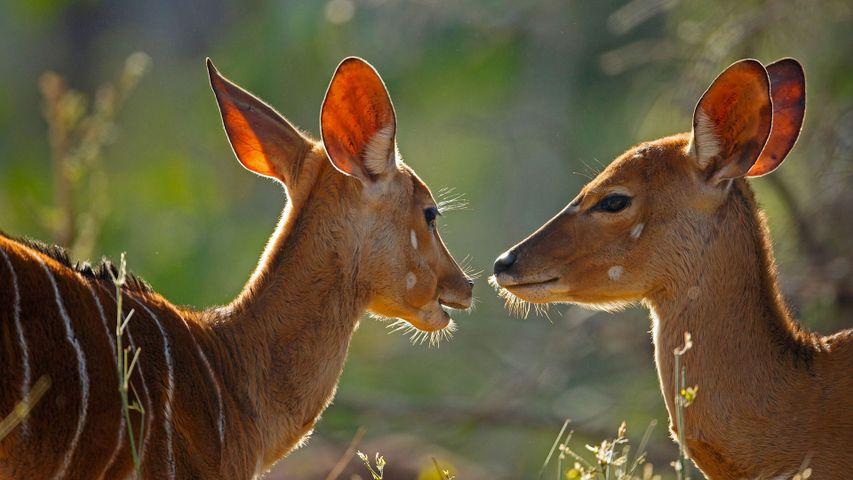 「ニアラのメス」南アフリカ, クルーガー国立公園