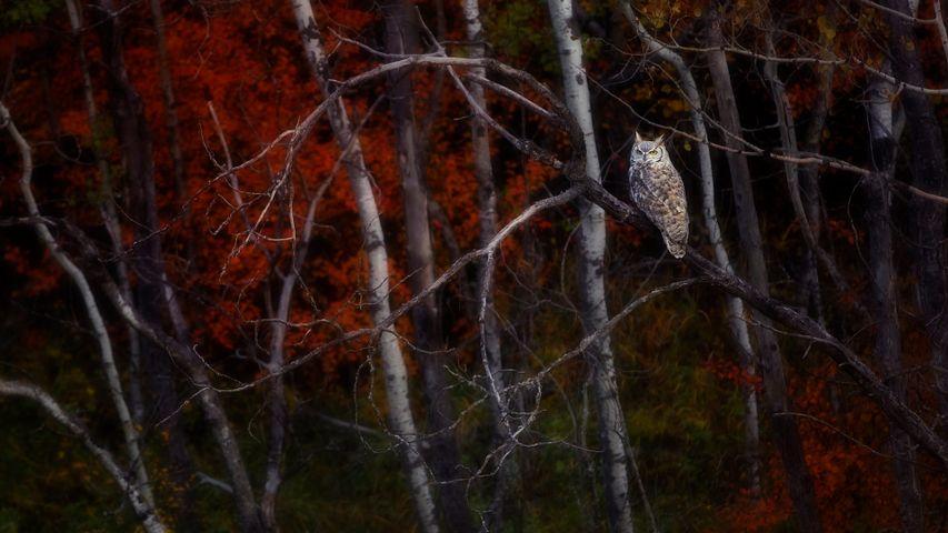 「紅葉とアメリカワシミミズク」カナダ, アルバータ州