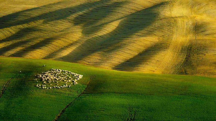 「羊の放牧」イタリア, トスカーナ州