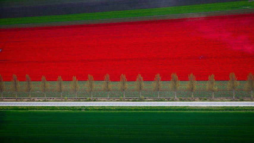 「チューリップ畑」オランダ, 北東ポルダー