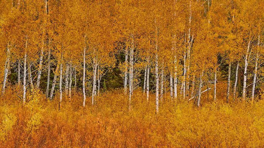 「ポプラの黄葉」アメリカ, ワイオミング州