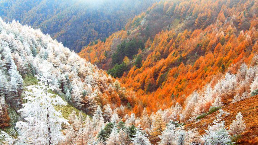 「霧氷と紅葉のカラマツ林」長野, 松本