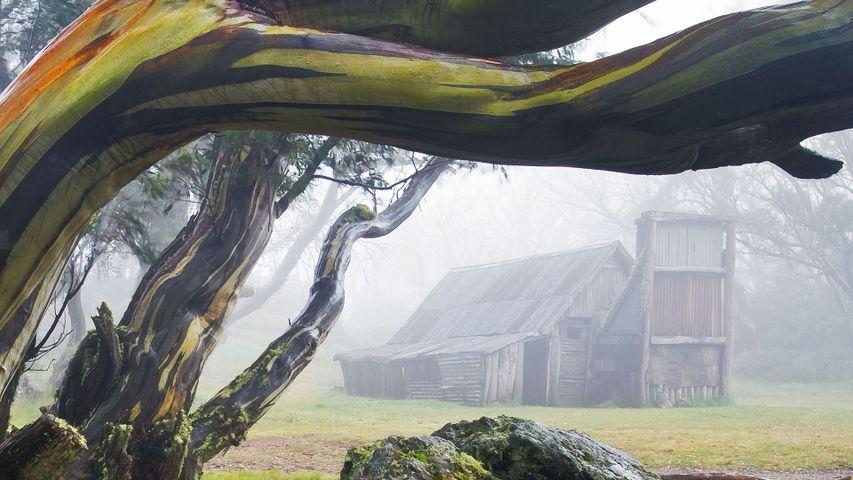 「スノーガムの木とウォレスハット」オーストラリア, ビクトリア州