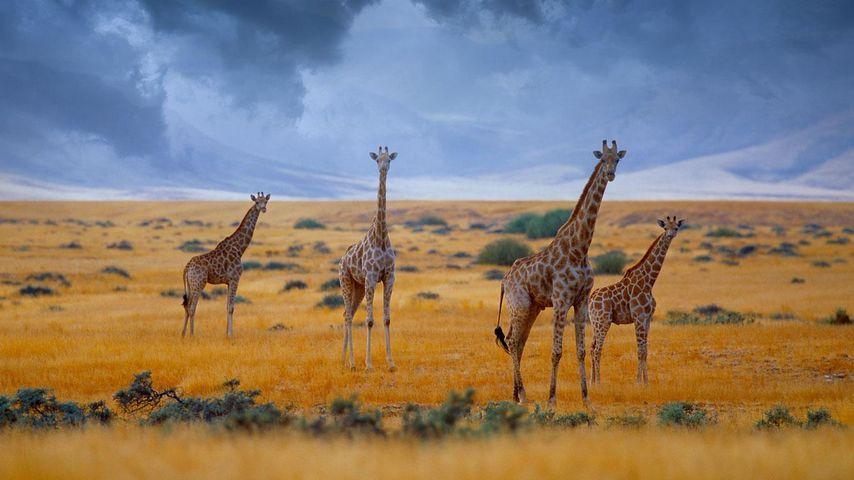 「キリンの群れ」ナミビア
