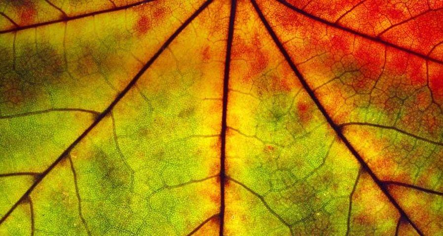 「紅葉の葉脈」