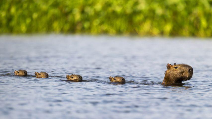 「カピバラ家族」ブラジル, パラグアイ川