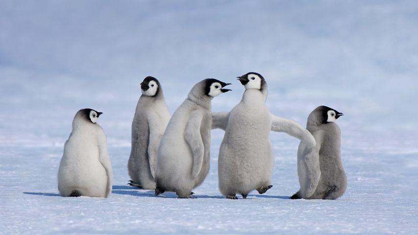「ペンギンのヒナ」南極