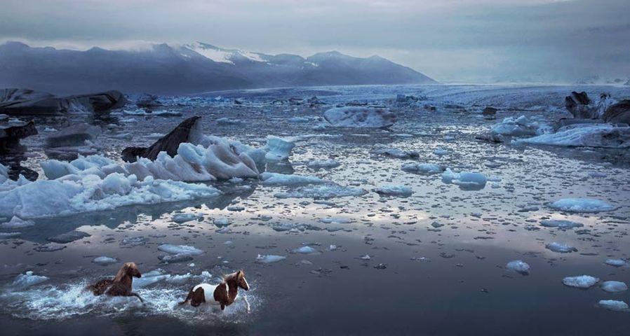 「アイスランド馬の疾走」