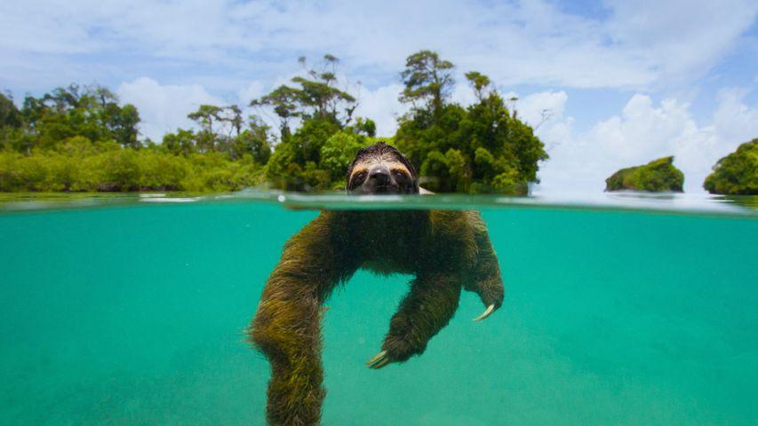 「泳ぐピグミーミツユビナマケモノ」パナマ, エスクド・デ・ベラグアス島