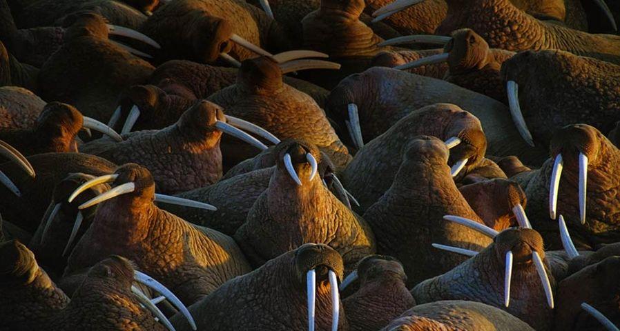 「セイウチの群れ」