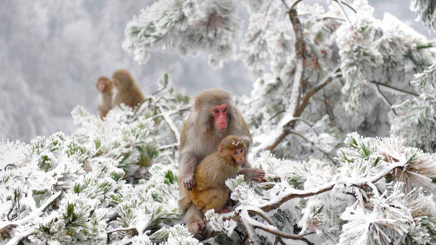 「武陵源のアカゲザル」中国, 湖南省