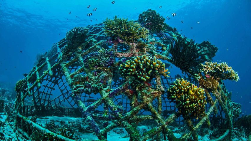 「バイオロックとサンゴ」インドネシア, ギリ島沖合