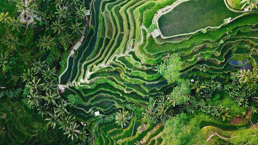 「ウブドのライステラス」インドネシア, バリ