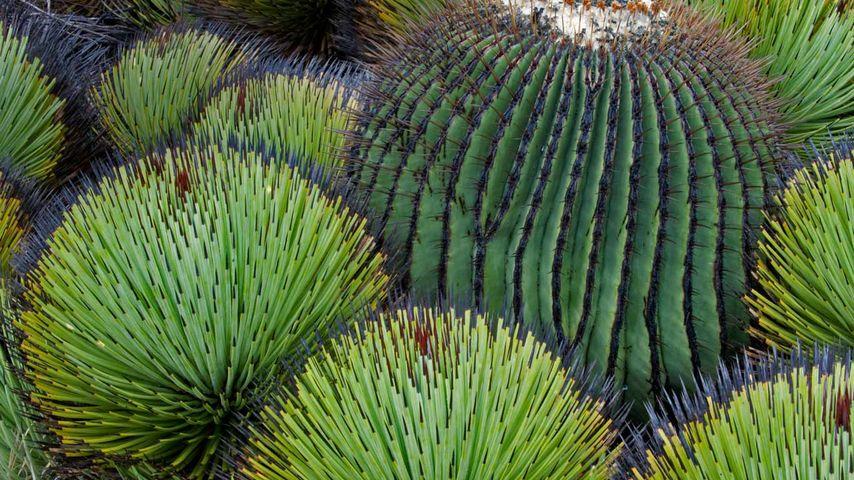 「タマサボテンとユッカ」メキシコ, チワワ砂漠