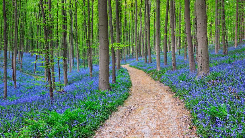 「ハルの森」ベルギー, ハル市