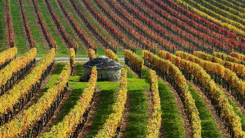 「ブドウ畑」フランス, ブルゴーニュ地域圏