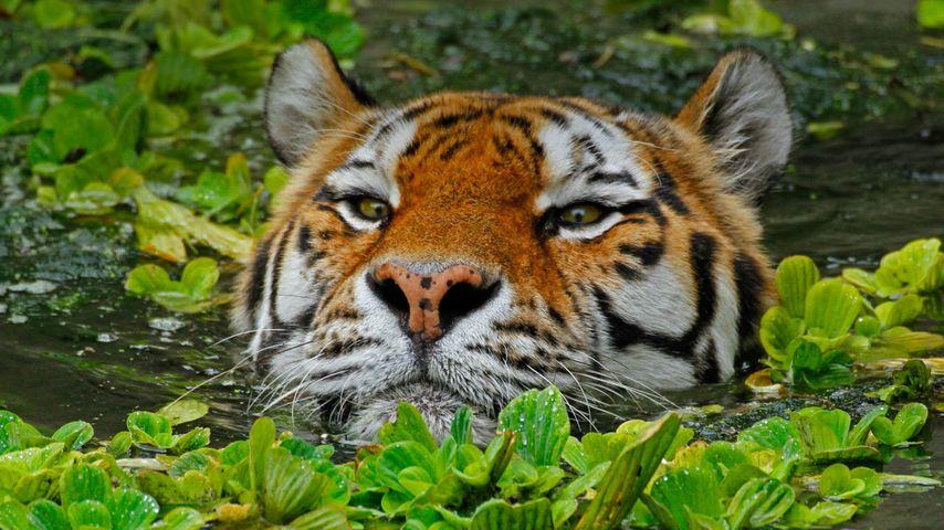 「泳ぐアムールトラ」ベルギー, アントワープ動物園