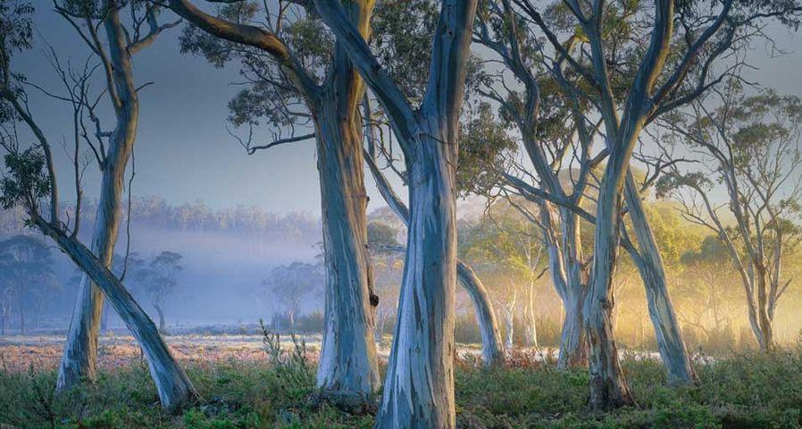 「ペパーミント・ユーカリ」オーストラリア, タスマニア, クレイドル・マウンテン-セント・クレア湖国立公園