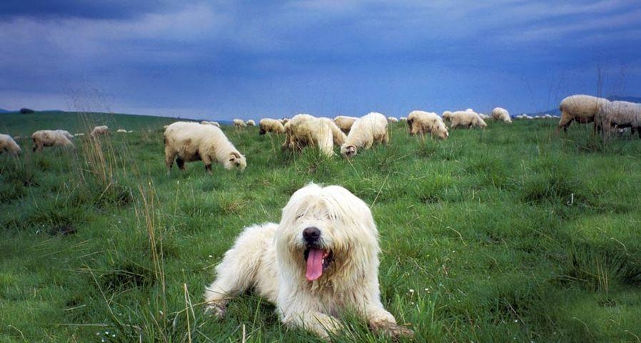 「羊の群れを守る牧羊犬」ポーランド, タトラ山脈