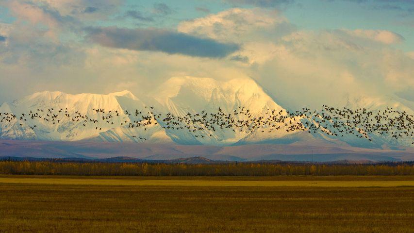 「カナダヅルの渡り」米国アラスカ, デルタジャンクション
