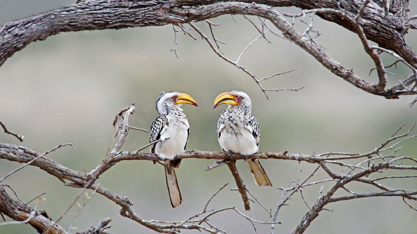 「ミナミキバシコサイチョウ」南アフリカ, クルーガー国立公園