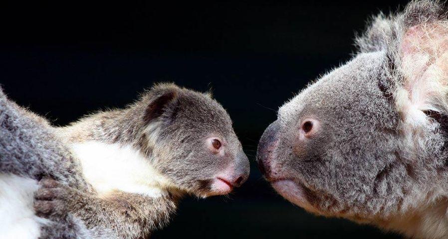 「コアラの親子」オーストラリア