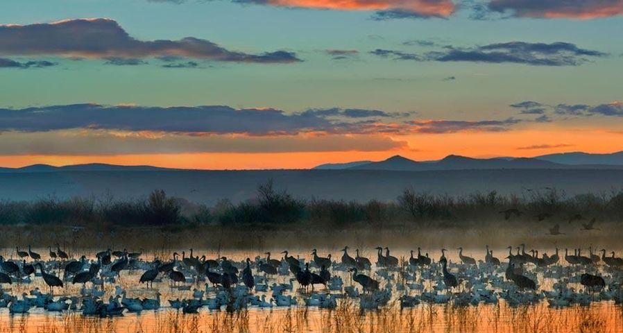 「ハクガンとカナダヅル」アメリカ, ニューメキシコ州