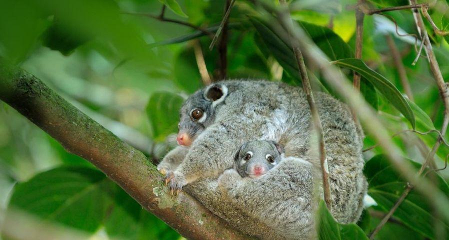 「親子ポッサム」オーストラリア, クイーンズランド