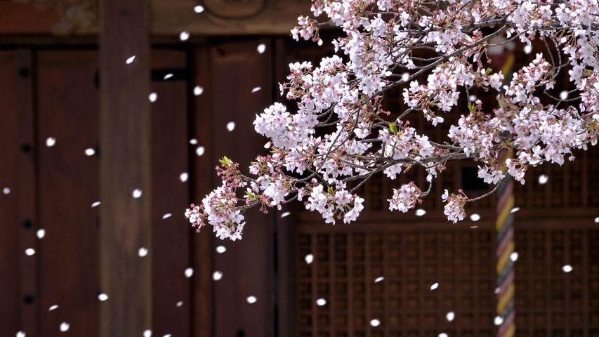 「寺院と桜吹雪」大阪, 堺市