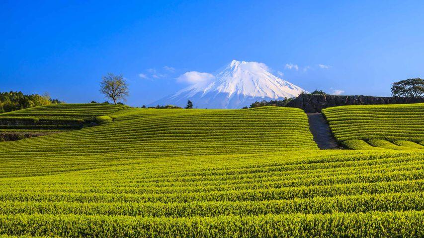 「茶畑と富士山」静岡, 富士市