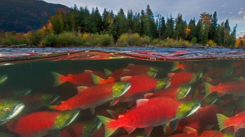 「ベニザケの遡上」カナダ, ブリティッシュコロンビア州