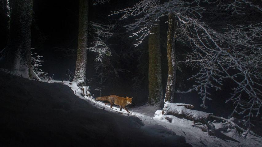 「アカギツネ」スイス, ジュラ山脈