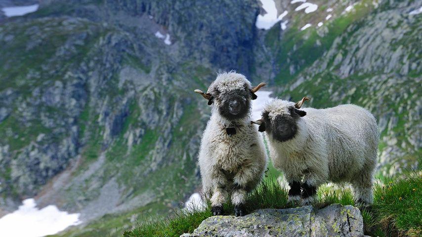 「ヴァレー・ブラックノーズ」スイス, ヴァレー州