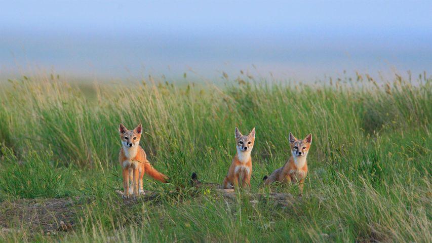 「スイフトギツネの子どもたち」カナダ, グラスランズ国立公園
