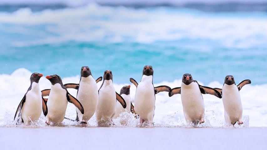 「イワトビペンギン」フォークランド諸島