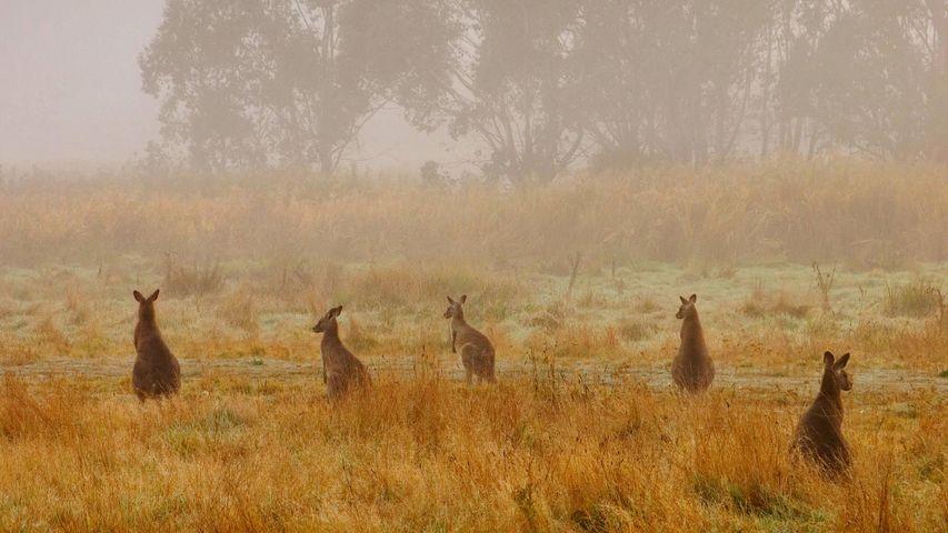「オオカンガルーの群れ」オーストラリア, コジオスコ国立公園