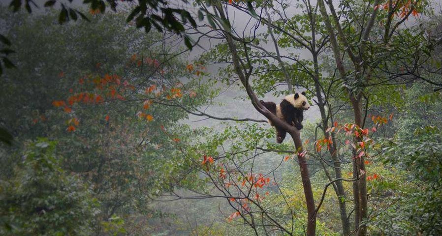 「木登り子パンダ」中国, 雅安
