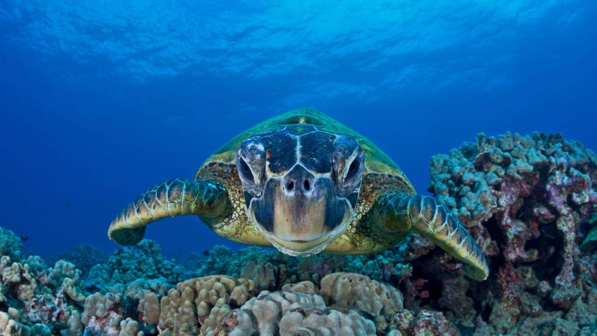「アオウミガメ」米国ハワイ州, マウイ島