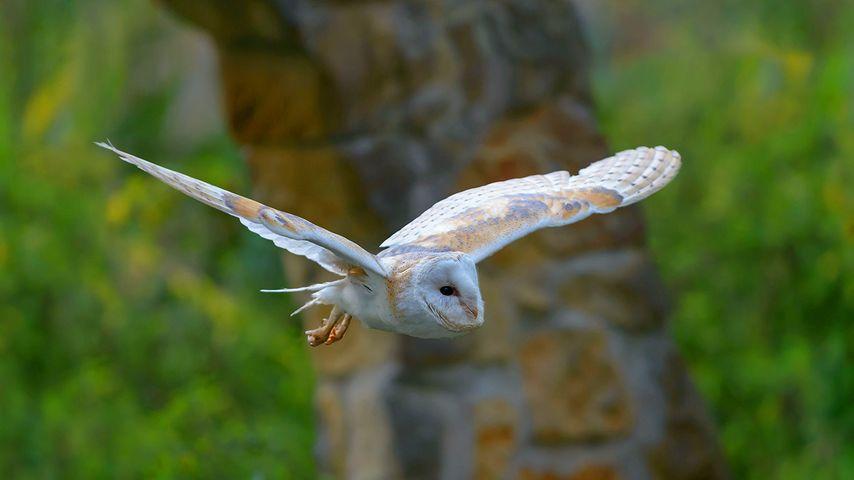 「メンフクロウの飛翔」
