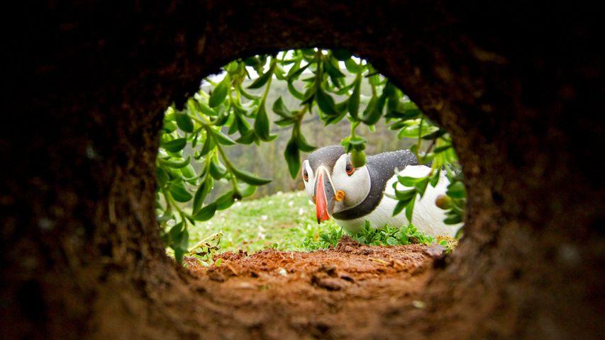 「巣の中をうかがうニシツノメドリ」イギリス, ウェールズ, スコーマー島