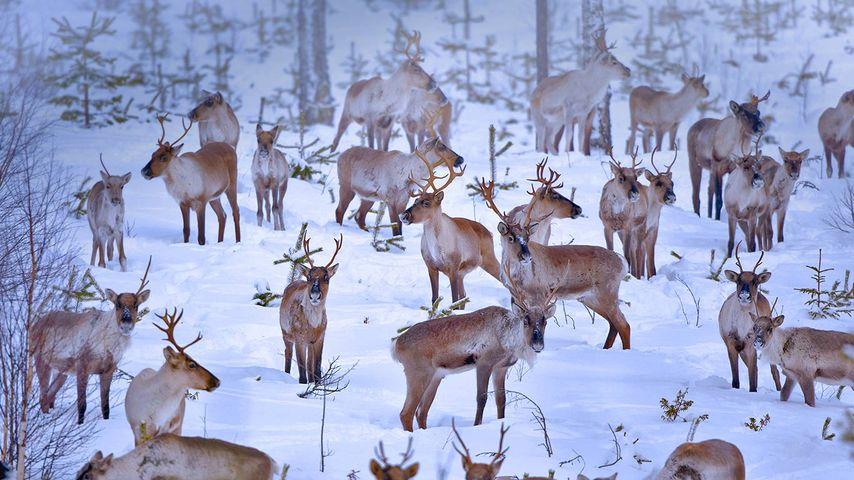 「トナカイの群れ」フィンランド, オウル
